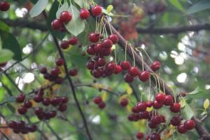 Kirsebær fra Gårdagergård